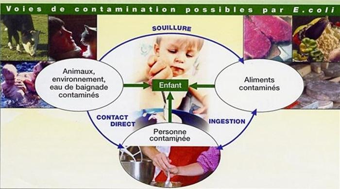 Voies de contamination possibles par E.coli